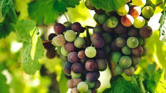 Druiven aan trosjes