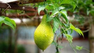 rijpe jackfruit