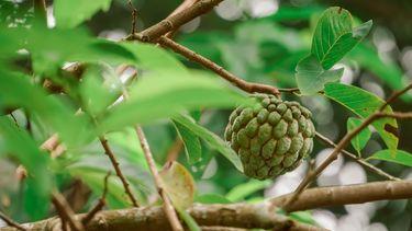 Fotov an de cherimoya of Jamaica-appel