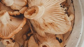 gedroogde paddenstoelen
