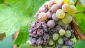 Noble rot of a wine grape, botrytised grapes