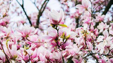 Magnolia eten