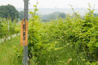 Wijnroute door Limburg / wijnstokken
